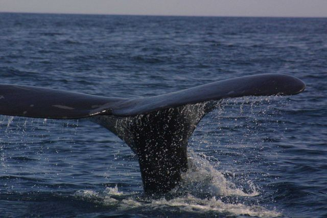 Right whale flukes. Picture