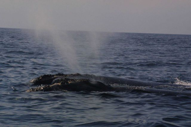 Gnarly-headed right whales blowing simultaneously. Picture