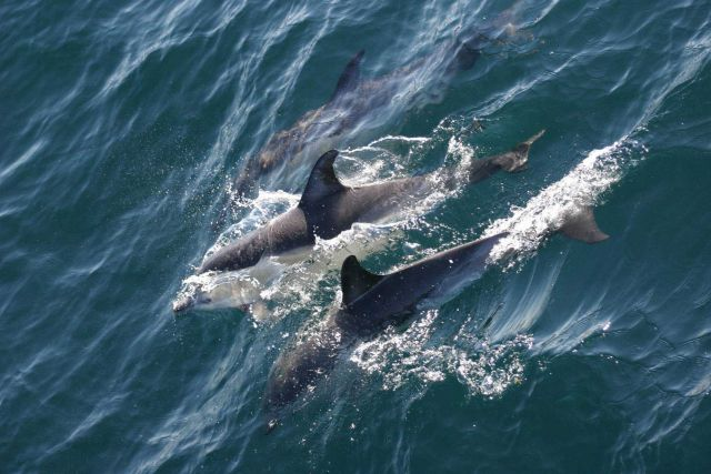 Dolphins. Picture