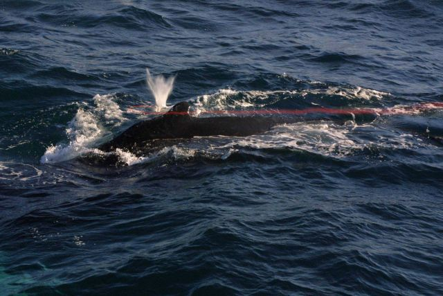 Tissue sampling dart just misses pilot whale. Picture