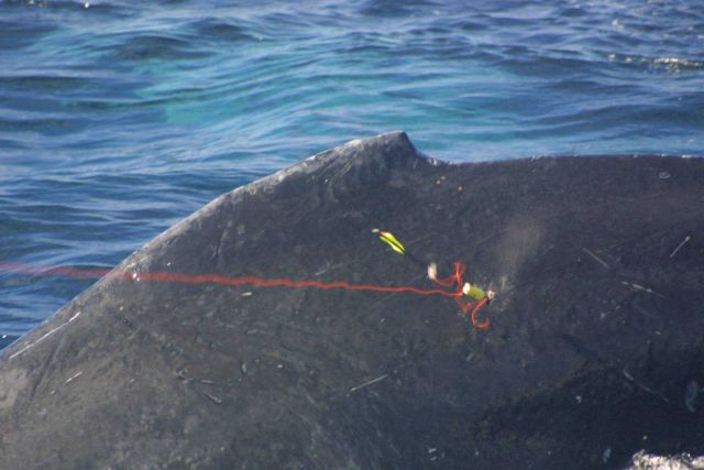 Tissue sampling dart in whale. Picture