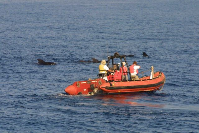 Scientists off NOAA Ship Delaware II taking tissue samples of pilot whales. Picture