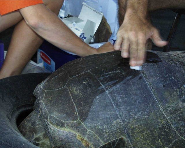 Preparing sea turtle for placing satellite transmitter on back. Picture