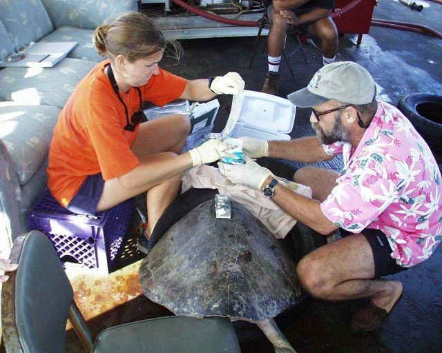 Scientist studying sea turtle after placing satellite transmitter on back. Picture