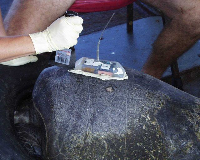 Finishing process of putting satellite transmitter on back of sea turtle. Picture