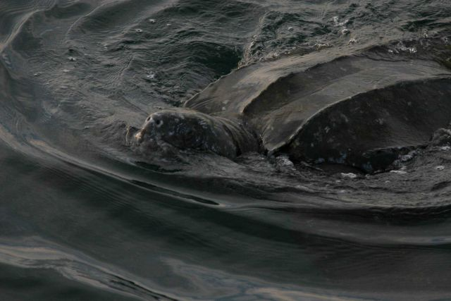 Large leatherback turtle swimming. Picture