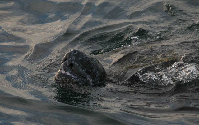 Large leatherback turtle swimming with snout out of water. Picture