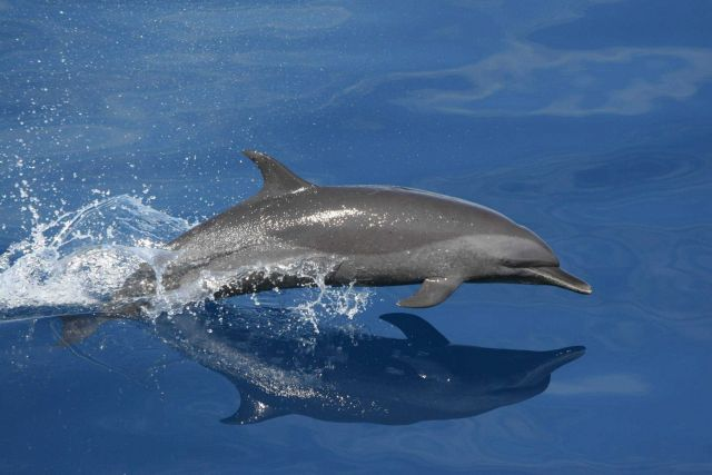 Spotted dolphin. Picture