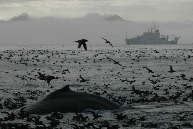 A magnificent profusion of life as a humpback whale surfaces amidst thousands of seabirds Picture