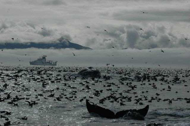 A magnificent profusion of life as a humpback whale dives amidst thousands of seabirds Picture