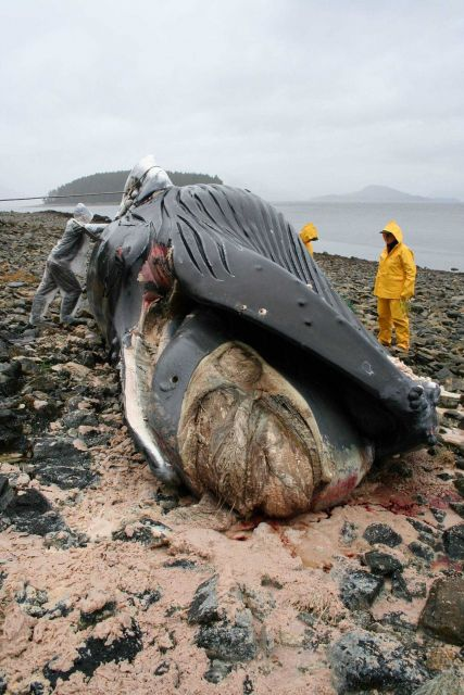 Volunteers with NMFS' Alaska Marine Mammal Stranding Network necropsy a humpback whale calf. Picture