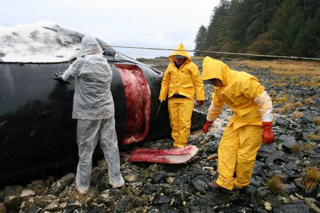 Veterinarians Rachel Berngartt and Kate Savage volunteer with NMFS' Alaska Marine Mammal Stranding Network during the necropsy of a humpback whale cal Picture
