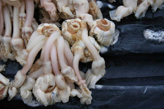 Barnacles attached to the ventral pleats of a humpback whale calf (photo taken during necropsy). Picture