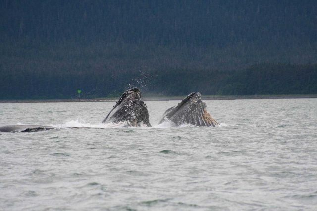 Humpback whales engage in cooperative lunge-feeding near Auke Bay, Alaska. Picture