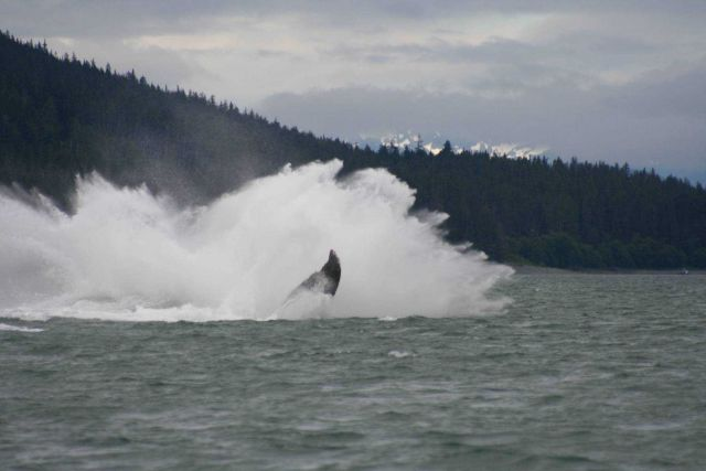A humpback whale lands in the water after breaching near Auke Bay, Alaska. Picture