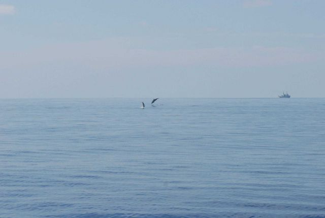 Dolphin leaping with DAVID STARR JORDAN in the distance. Picture