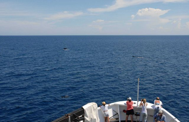 A pod of sperm whales off the bow of the DAVID STARR JORDAN. Picture