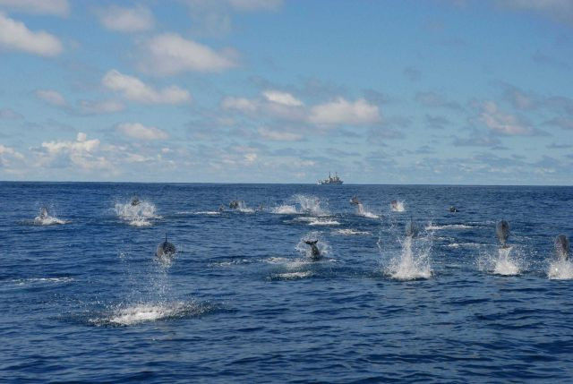 Pod of dolphin with NOAA Ship DAVID STARR JORDAN in the distance. Picture