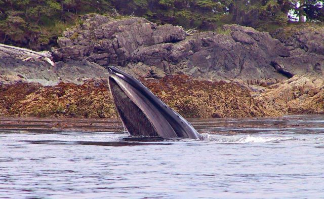 A humpback whale feeding on YOY pollock. Picture