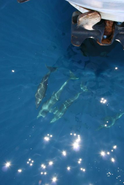 Dolphin on the bow of the NOAA Ship DAVID STARR JORDAN. Picture
