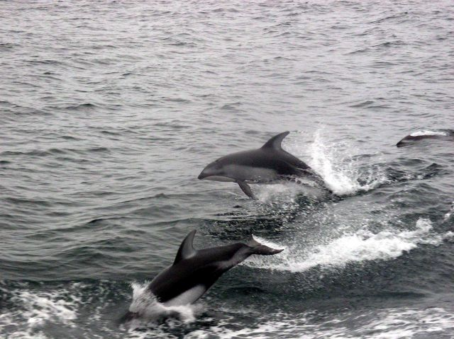 Dolphins following the NOAA Ship MILLER FREEMAN on the 2005 Acoustic Hake Survey . Picture