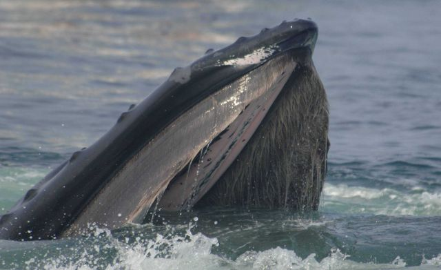 Humpback whale feeding Picture