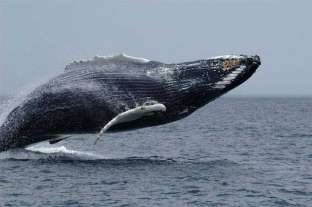 40 tons of flying humpback defying gravity. Picture