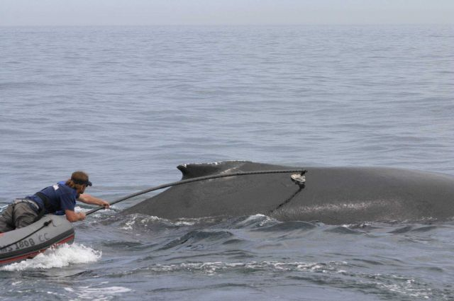 Planting satellite transmitter on back whale to track movements Picture