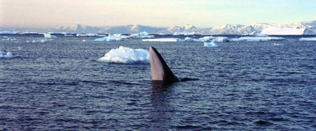 Humpback spyhopping in polar waters. Picture