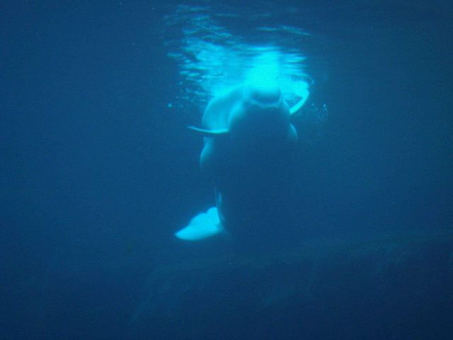 Beluga whale seen from underwater Picture