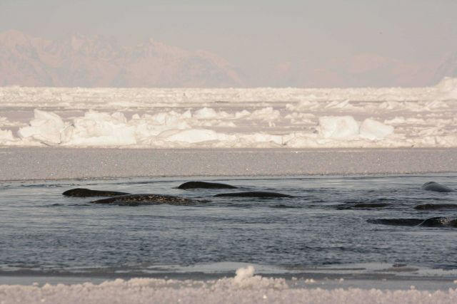 Pod of narwhals in the winter time pack ice habitat. Picture