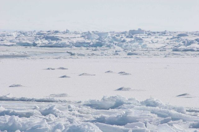 'Hummocks' in the ice where narwhals surfaced in thin ice to breathe and left an imprint. Picture