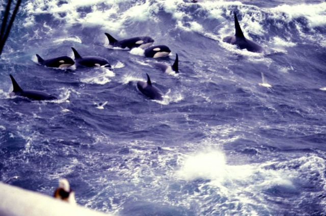 A pod of killer whales (Orcinus orca) in the North Pacific Picture