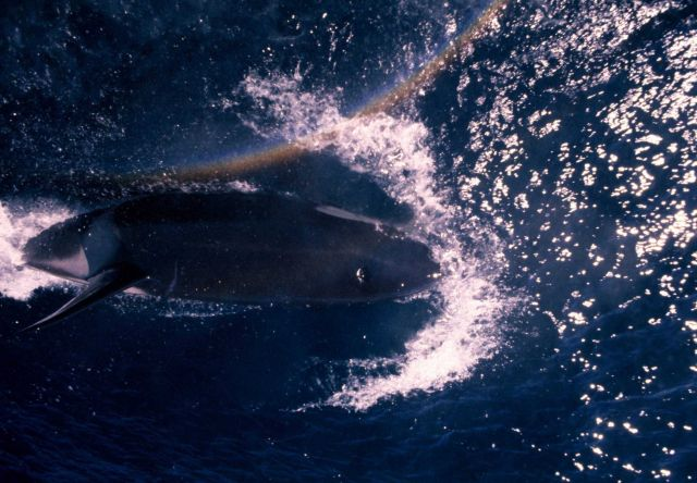 Looking directly down on a killer whale (Orcinus orca) swimming parallel to a fisheries research vessel Picture