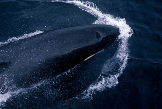 Looking directly down on a killer whale (Orcinus orca) swimming parallel to a fisheries research vessel. Picture