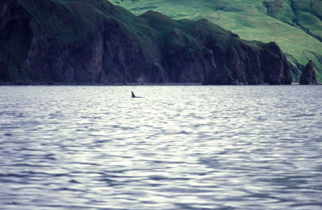 A lone killer whale (Orcinus orca) seen cruising off an Aleutian Island. Picture