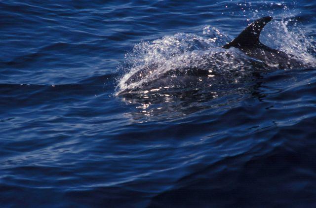 Killer whale Picture