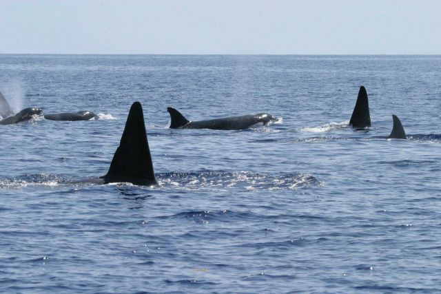 Killer whales Picture