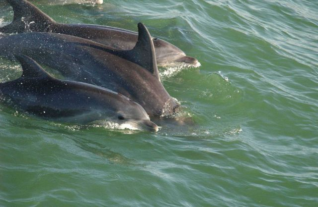 Bottlenose dolphin Picture