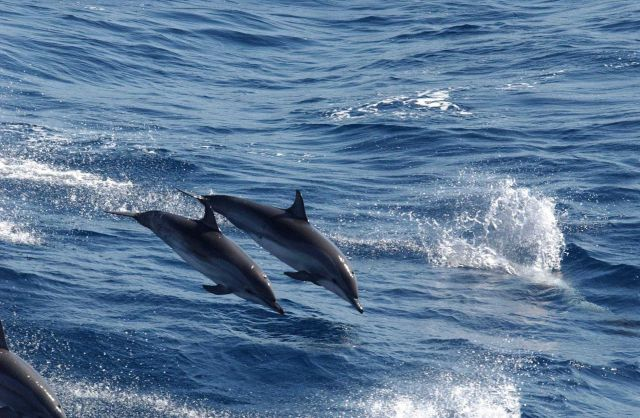 Clymene dolphin Picture