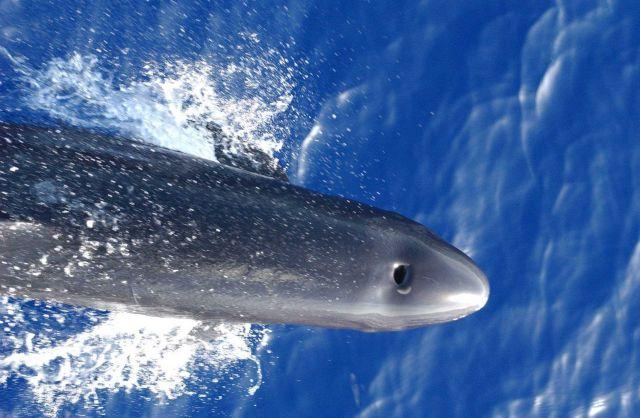 False killer whale Picture