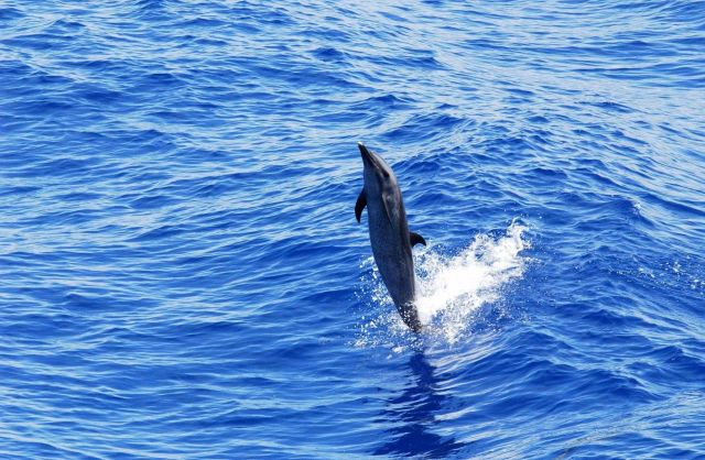 Pantropical spotted dolphin Picture