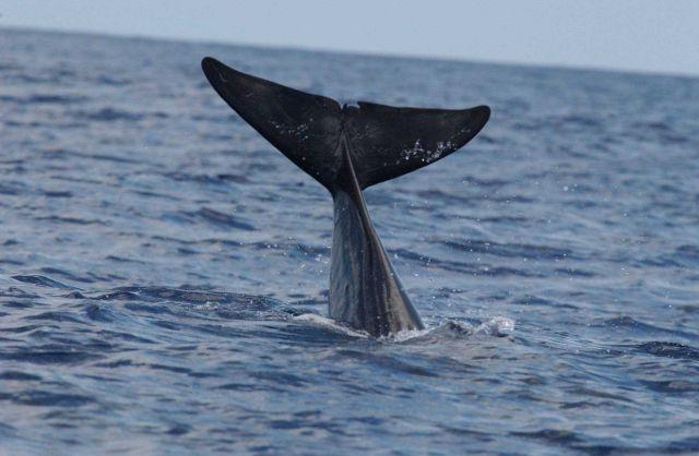 Pilot whale Picture