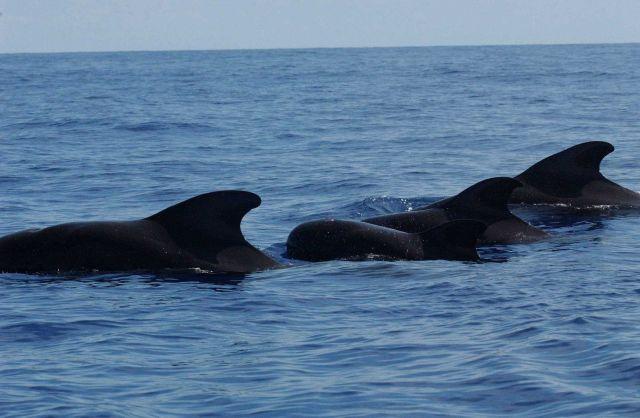 Pilot whales Picture