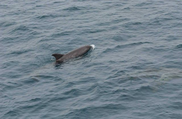 Pygmy killer whale Picture