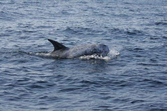 Risso's dolphin Picture