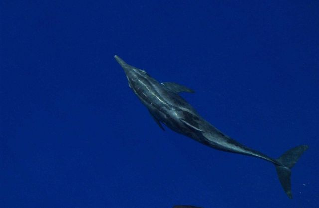 Rough-toothed dolphin Picture