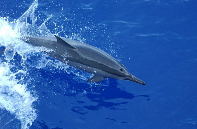Spinner dolphin Picture
