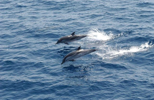 Striped dolphin Picture