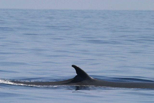 Bryde's whale Picture